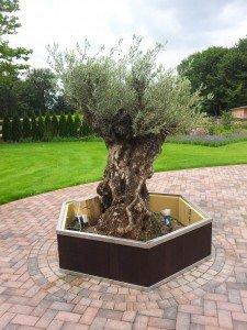 Pflanzkübel für sehr alten Olivenbaum